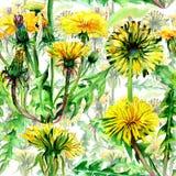 Modèle de fleur de pissenlit de Wildflower dans un style d'aquarelle d'isolement illustration libre de droits
