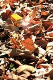 Modèle de jouet d'autobus scolaire sur le champ des feuilles automnales Photo libre de droits