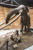 Modèle de mastodonte photographie stock libre de droits