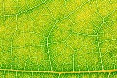 Modèle de texture de feuille pour l'environnement de fond de ressort et la conception de l'avant-projet d'écologie Images stock