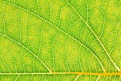 Modèle de texture de feuille pour l'environnement de fond de ressort et la conception de l'avant-projet d'écologie Image stock