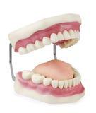 Modèle dentaire Images stock