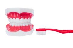 Modèle dentaire de dents Photos stock