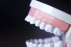 Modèle dentaire de dents Image stock