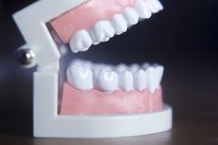 Modèle dentaire de dents Photographie stock