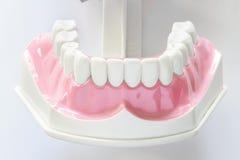 Modèle dentaire de mâchoire images stock