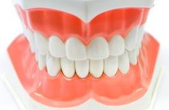 Modèle dentaire des dents photographie stock libre de droits