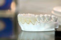 Modèle des dents humaines Photos libres de droits