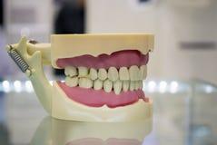 Modèle des dents humaines de la mâchoire humaine Images stock