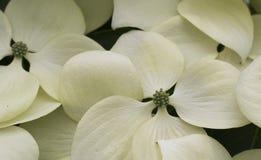 Modèle des fleurs de cornouiller en fleur Photos stock