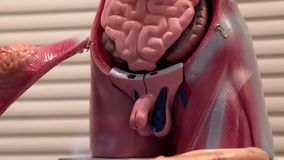 Modèle des organes internes humains banque de vidéos