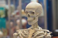 Modèle du squelette humain photos stock