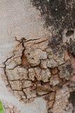 Modèle en bois de fond de texture d'arbre Photographie stock libre de droits