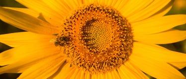 Modèle en spirale au centre de la fin de tournesol montrant la belle texture avec d'une manière ordonnée la disposition photos libres de droits