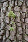 Modèle et mousse d'écorce Photo libre de droits