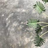 Modèle gentil des branches et des feuilles vertes d'usine de xanadu Photo stock