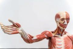 Modèle humain d'anatomie et de physiologie dans le laboratoire photos stock