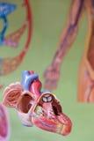 Modèle humain de coeur devant la carte murale image stock