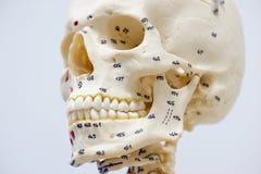 Modèle humain de crâne Photo stock