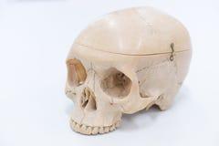 Modèle humain de crâne Images stock