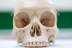 Modèle humain de crâne Photos libres de droits