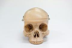 Modèle humain de crâne Image libre de droits