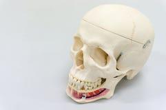 Modèle humain de crâne Images libres de droits