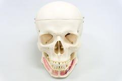 Modèle humain de crâne Image stock