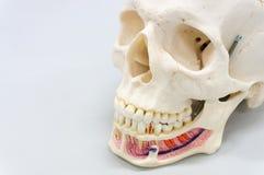 Modèle humain de crâne Photographie stock libre de droits