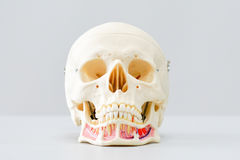 Modèle humain de crâne pour l'éducation Photo stock