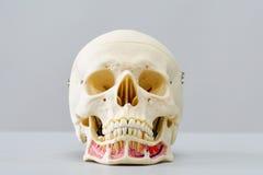 Modèle humain de crâne pour l'éducation Photo libre de droits