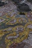 Modèle naturel créé par des algues de l'eau jaune et rouge sur la pierre de lave, Mornington Penisula, Australie photos libres de droits