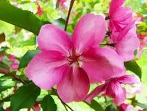 Modèle pour aquarelle d'Apple-arbre de fleur Photos stock