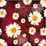 Modèle sans couture avec des camomilles sur le fond rouge avec les fleurs rayées Photo stock