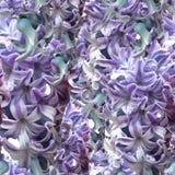 Modèle sans couture avec les jacinthes bleues Photo libre de droits