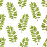Modèle sans couture d'aquarelle avec des feuilles d'acacia Fond tiré par la main de vecteur pour empaqueter, textile Photographie stock libre de droits
