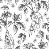 Modèle sans couture de croquis botanique réaliste d'encre avec la racine, les fleurs et les baies de ginseng d'isolement sur le b illustration libre de droits