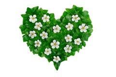 Modèle vert de coeur fait de feuilles de lierre et fleurs blanches La disposition naturelle créative faite en lierre vert part Photo libre de droits