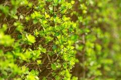 Modèle vert de feuille sur le buisson de ressort, concept de nature images libres de droits