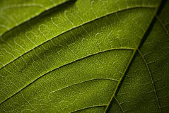 Modèle vert haut étroit de congé de macro photo stock