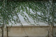 Modèle vert naturel d'usine de rampement sur l'espace blanc de copie de mur de briques de peinture Images libres de droits