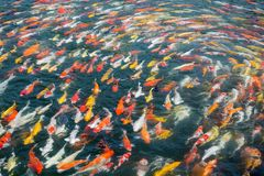 Modèles colorés de la natation d'écrevisses Photographie stock