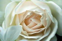 Modèles de macro vue de rose centrale de blanc Images libres de droits