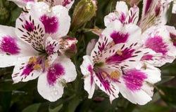Modèles et détail colorés de texture de fleur d'Alstromeria Image stock