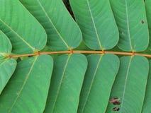 Modèles et textures des feuilles, feuilles dans les paires des deux côtés photo libre de droits