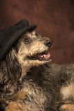 Mod dog. A hairy black and tan dog is posing and smiling in front of a dark reddish brown backdrop wearing a black newsboy cap Stock Images