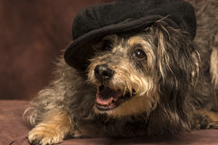 Mod dog. A small black & tan hairy dog is wearing a mod cap and posing with a big smile on a brown backdrop royalty free stock photos