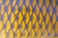 Mod?le d'?chelles de poissons Carpe commune image libre de droits