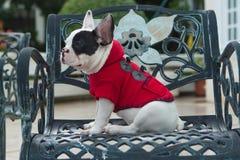 Moda del dogo francés Foto de archivo