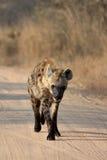 Młoda hiena Obraz Royalty Free